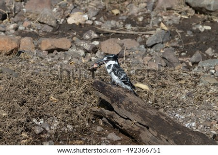 Pied Kingfisher in tree by Chobe River, Kasane Botswana