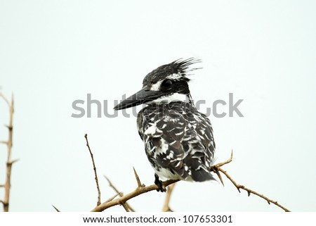 Pied Kingfisher isolated on white background on natural perch - stock photo