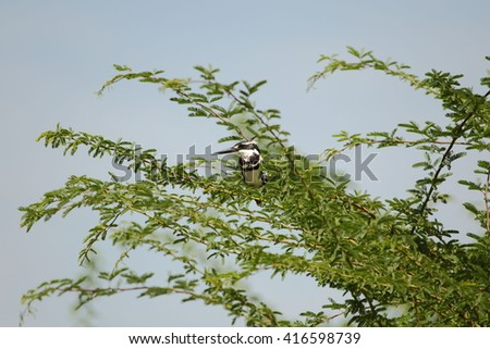 Pied kingfisher on a tree