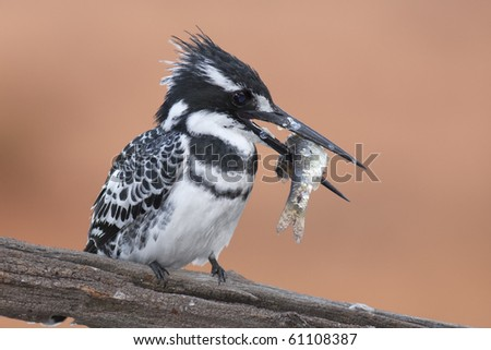 Pied Kingfisher on branch of dead tree with fish in beak - stock photo