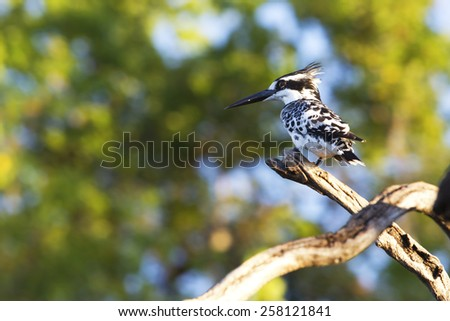 Pied Kingfisher perched on a branch in Botswana - stock photo