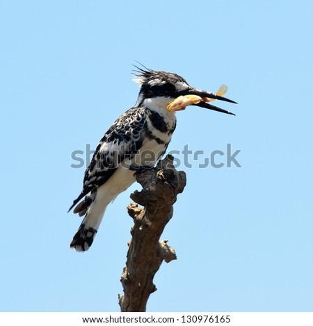 pied kingfisher with fish in beak.Chobe reserve,Botswana - stock photo