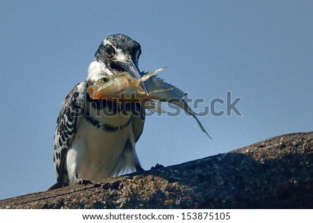 Pied Kingfisher with small fish - stock photo