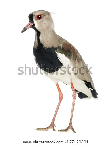 Pied Plover, Vanellus cayanus, also known as the Pied Lapwing against white background - stock photo