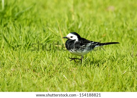 Pied Wagtail - stock photo