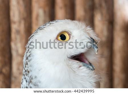 Piercing owl Eyes  - stock photo