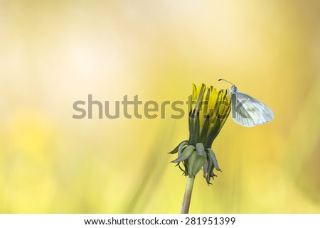Pieridae butterfly resting on dandelion after rain - stock photo