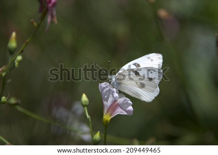 "Pieris rapae butterfly, more commonly known as a Small Cabbage White or simply as White Butterfly. referred to as ""imported cabbageworm"" they are a serious pest to cabbage and mustard family crops. - stock photo"