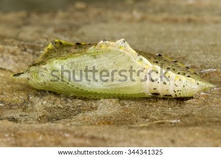 Pieris sp. butterfly pupa - stock photo