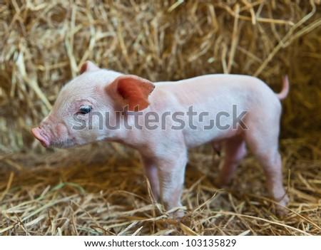 Pig baby piglet - stock photo