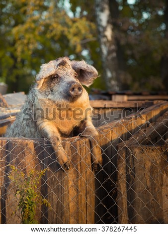 Pig behind a fence watching the sunset