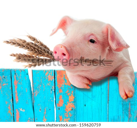 Pig chews natural food. Ears of wheat. comic collage - stock photo