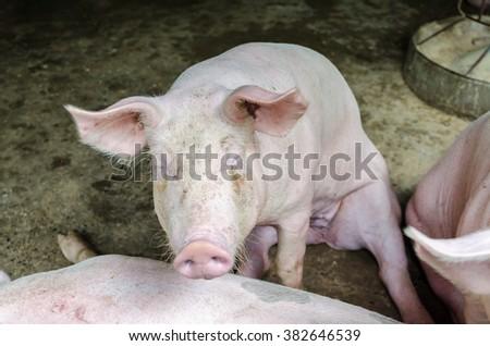 pig feed - stock photo