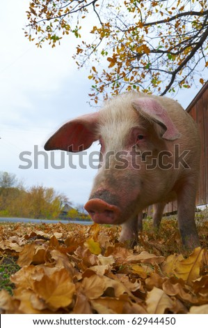 pig feeding searching acorns among yellow oak leaves in the village - stock photo