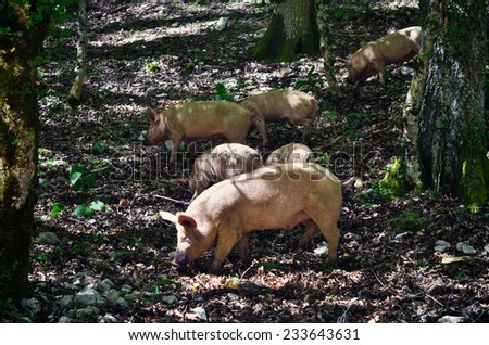 Pig in a mountain forest, Italy - stock photo