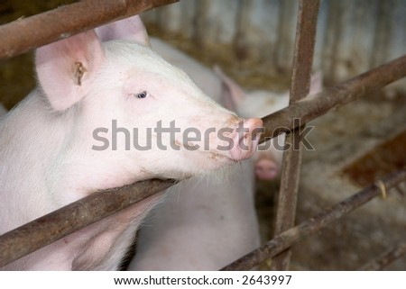 Pig in a Pen - stock photo