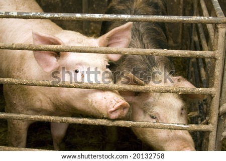 pig in stable - stock photo