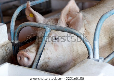 Pig in the cage - stock photo