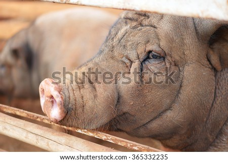 pig in the farm or pig sty - stock photo