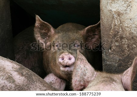 pig in the piggery - stock photo