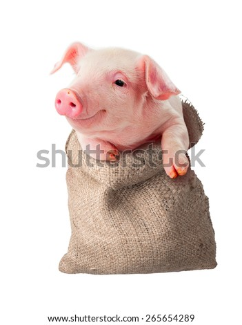 Pig in the rag bag. Isolated. Sale, delivery, transportation of animals - stock photo