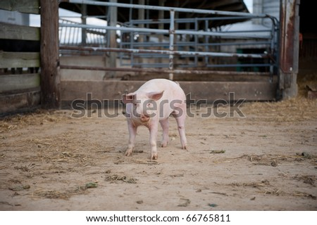 Pig inside of a enclosure - stock photo