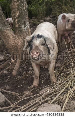 pig looking at camera in a natural environment - stock photo