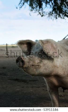 Pig looking at one side in a little farm