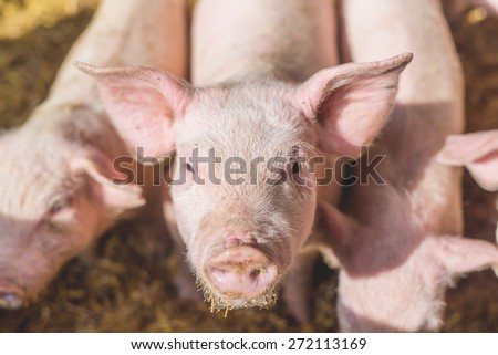 Pig nose in the pen. Shallow depth of field. - stock photo