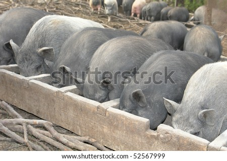 Pig on a farm in the summer - stock photo