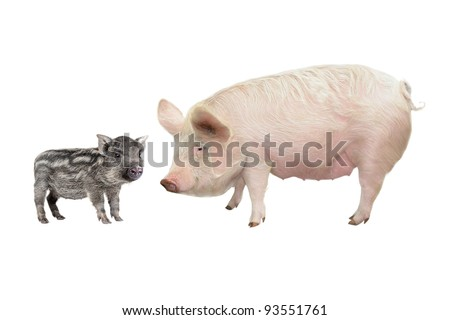 Pig, on a white background - stock photo