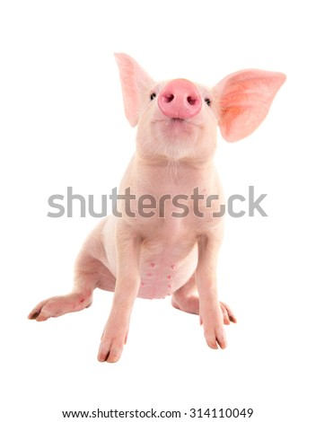 Pig on a white background. A series of photos pigs in different poses. - stock photo