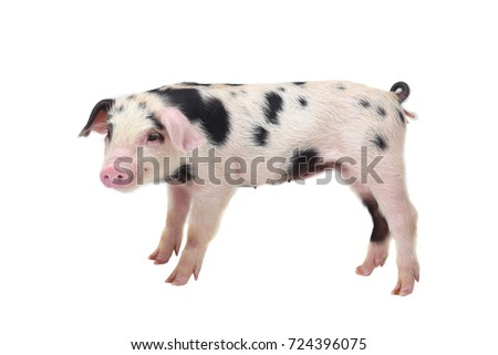 pig on a white background.  in studio shot
