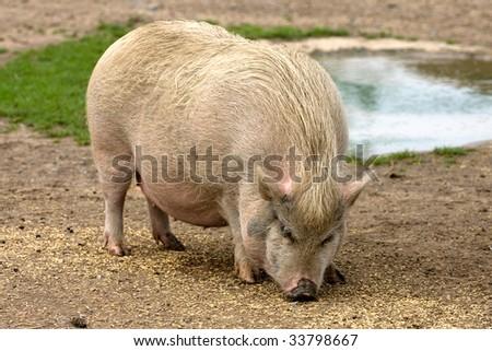 pig on farm - stock photo