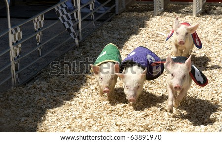 Pig race at the county fair - stock photo