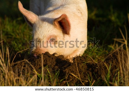 pig rummages in the ground - stock photo