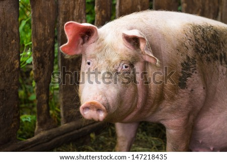 pig sitting in his pigsty and looks directly at the camera. focused on the eyes.  - stock photo