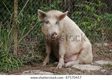 Pig sitting on side of country road - stock photo