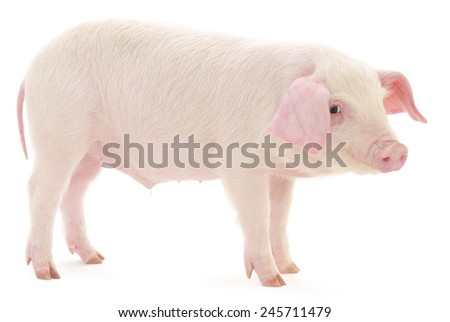 Pig who is represented on a white background - stock photo