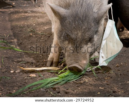pig with blue gauze bandage - stock photo