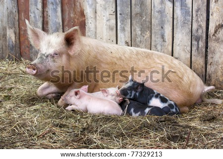 Pig with small pigs in village - stock photo