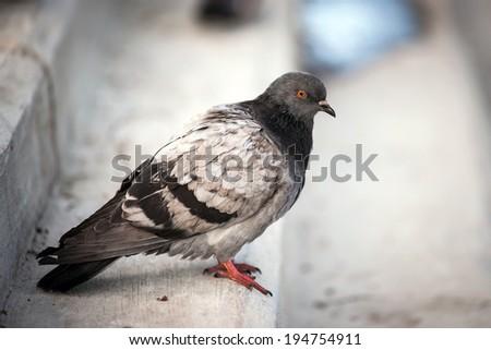 Pigeon - stock photo