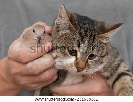pigeon and cat in hands - stock photo