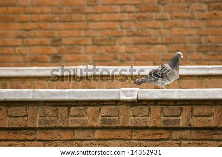 Pigeon at the edge of a roof with red brick background