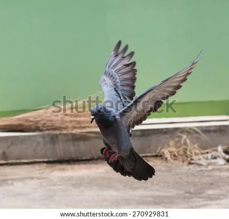 Pigeon bird,Thailand - stock photo