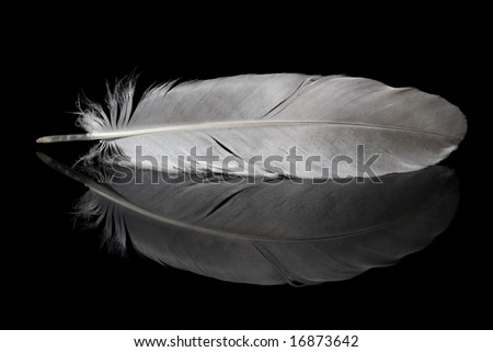 pigeon feather and its reflection isolated on black background - stock photo
