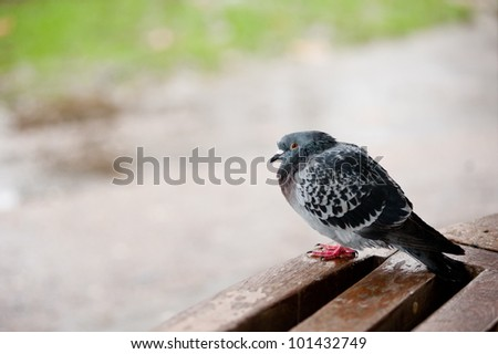 pigeon in Hyde Park, London - stock photo
