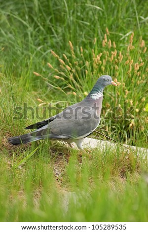 Pigeon in the grass - stock photo