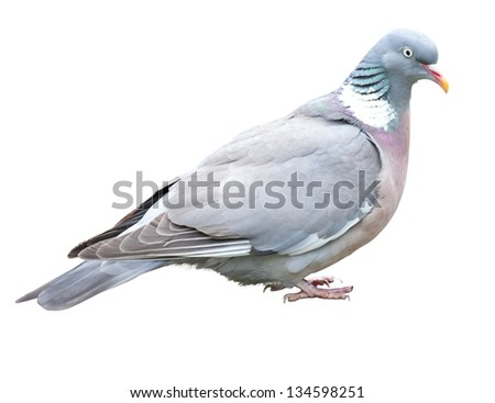 Pigeon isolated on white - stock photo