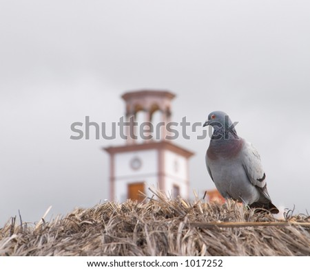 Pigeon looking at the clock on the building - stock photo